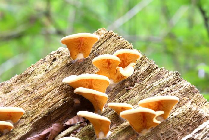 Oranje oesterzwammen groeien in groepjes op dode boomstammen.