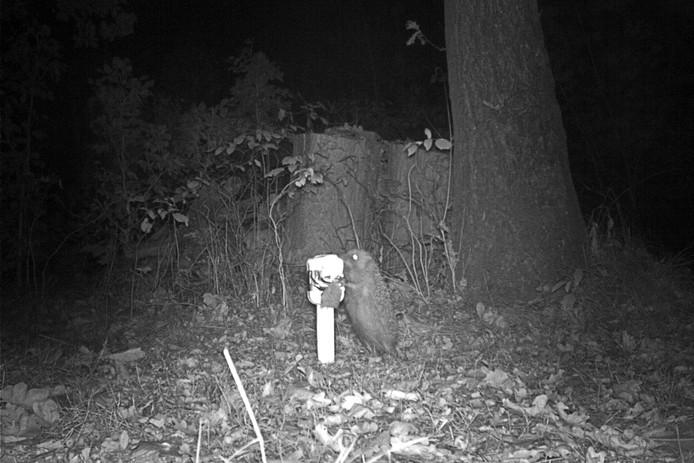 Een egel probeert wat sardientjes te bemachtigen.
