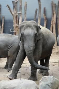 Raadsels rond het jong van olifant Indra: wás ze eigenlijk wel zwanger?