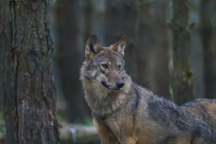 Een wolf.