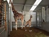 Giraffe Finn geboren in Beekse Bergen