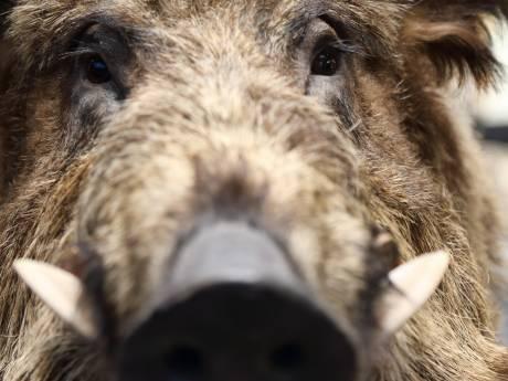 Personeel staat oog in oog met wild zwijn in fabriekshal in Eersel