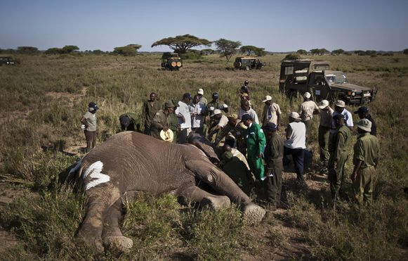 In Kenia worden olifanten vaak voor hun kostbare ivoren slagtanden, gedood door stropers.