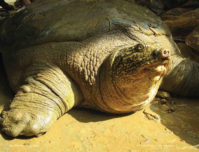 De Swinhoe-weekschildpad bleek toch niet de laatste ter wereld te zijn.