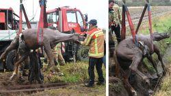 Brandweer takelt paard uit gracht in Schelle