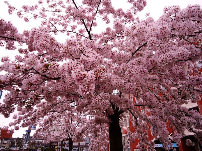 een paar bomen in volle bloei met prachtige bloesem ,bij de stadspoort ,is echt genieten
