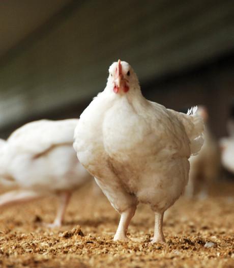 Boer en Partij voor de Dieren kibbelen over stal voor 25.000 mestkuikens