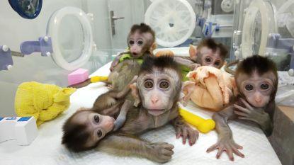 """China kloont vijf aapjes voor medisch onderzoek in """"monsterlijk"""" experiment"""