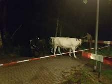 Loslopende koeien in de straat, buurtbewoners houden de wacht