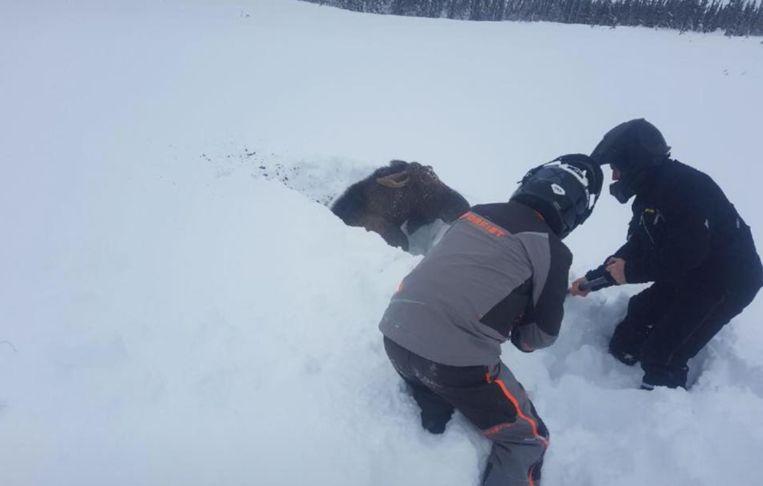 De mannen moesten een paar minuten graven om de eland vrij te krijgen.