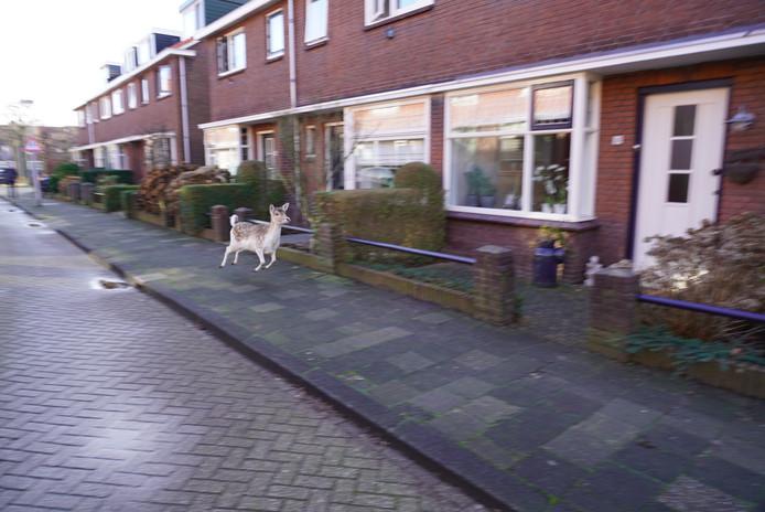 Het hert ging op avontuur in Hendrik-Ido-Ambacht.