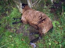 Dode schapen zorgen voor onrust op eiland