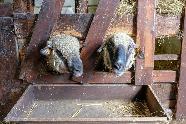 Twee van de overgebleven schapen staan veilig in de stal.