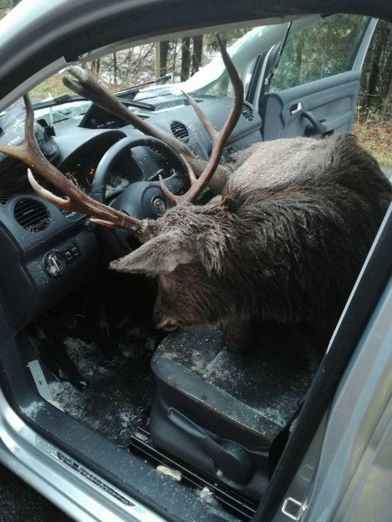 Het hert kwam met z'n gewei vast te zitten in het stuurwiel en overleefde de klap niet.