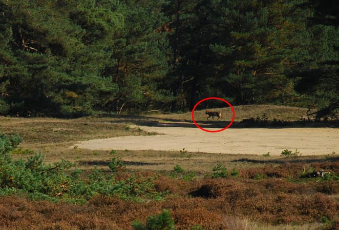 Op basis van deze foto wisten experts het zeker: er loopt een wolf op de Veluwe.