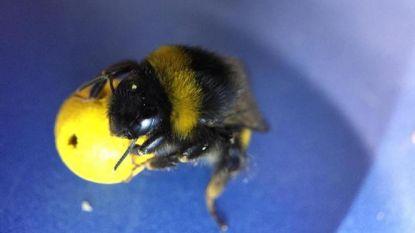 Dit geweldige experiment toont aan dat bijen veel slimmer zijn dan we denken