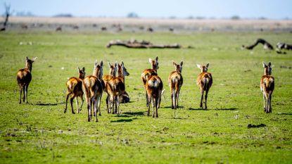 Boswachters mogen vanaf nu 1.800 edelherten in Nederlands natuurgebied doodschieten