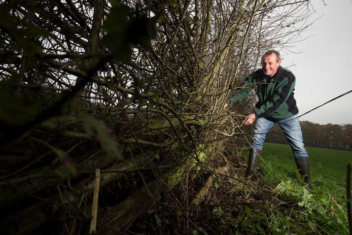 Wilfried Berendsen wijst op de uitlopers op de gevlochten stammen, die zorgen voor een dichte meidoornhaag.