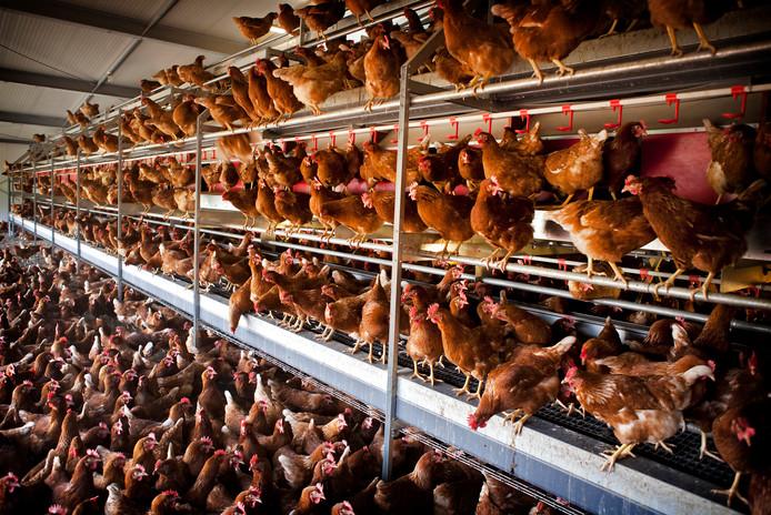 Leghennen op een kippenboerderij.