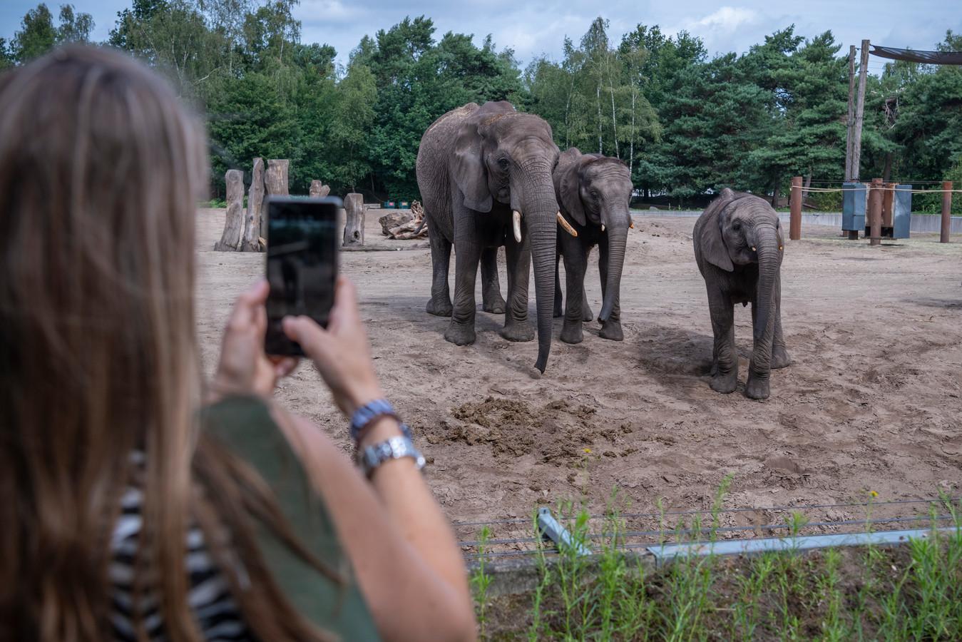De olifanten van de Beekse Bergen hoeven geen 'olifantenpaadjes' te maken, hun soortgenoten in het wild doen het wel. Maar waarom?