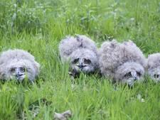 4 oehoes geboren op terrein van Twence in Hengelo