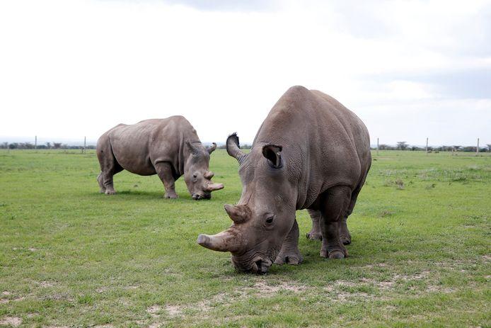 Twee neushoorns in een nationaal park in Kenia.