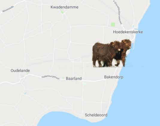 De hooglanders lopen in het gebied tussen Hoedekenskerke en Bakendorp.