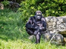Franse gorilla's moeten van de dierentuin terug naar de Afrikaanse jungle