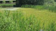 Watercrassula dreigt bufferzone te overwoekeren, provincie grijpt in