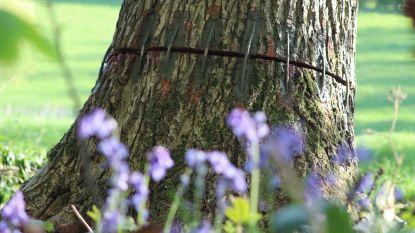 Reddingspoging is gestart: boomexpert brengt jonge scheuten aan op gevandaliseerde bomen
