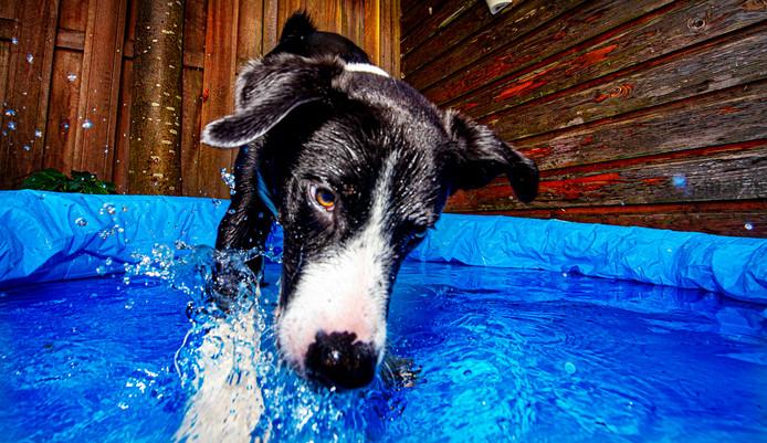 In een tuin in Hoofddorp zoekt de bordercollie Finn verkoeling in een badje