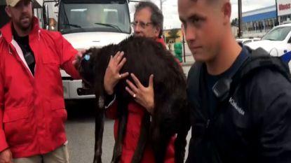 Nieuwsploeg redt gewonde hond tijdens Dorian