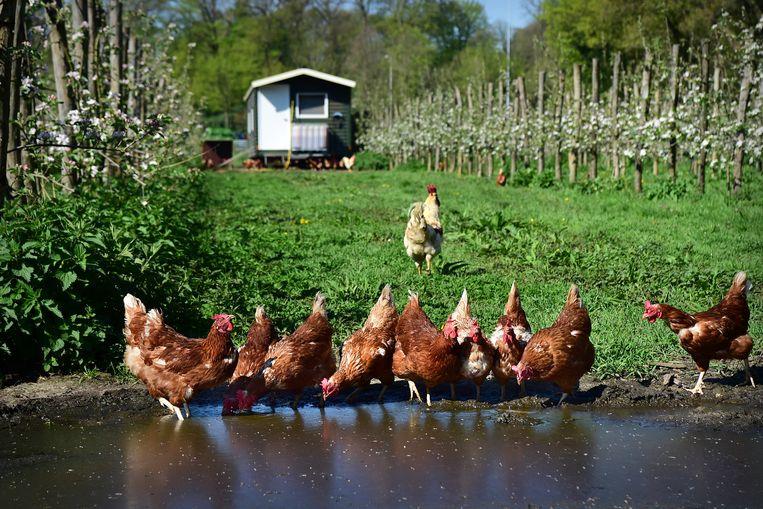 De scharrelkippen drinken uit een plas water in de boomgaard. Beeld Marcel van den Bergh