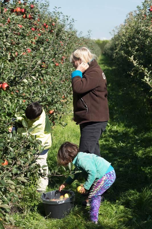Zelf appels plukken tijdens de Appelplukdag in Luttelgeest.