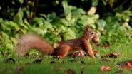Rode eekhoorn duikt op in het stadsrandbos Oostende (en dat is goed nieuws voor het bos)