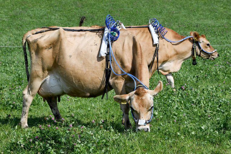 Koeien in het Noord-Duitse Noer grazen stug door, ondanks de meetapparatuur op hun lijf en kop. De universiteit van Kiel onderzoekt de uitstoot van het broeikasgas methaan door het vee, en zoekt naar manieren om die te verminderen.  Beeld AP