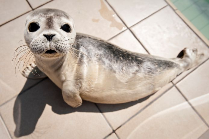 Een jonge zeehond in een opvangbassin bij Ecomare op Texel.