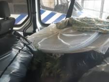 Zeven aanhoudingen in Heikant voor transport van bijna honderd kilo 'natte' hennep