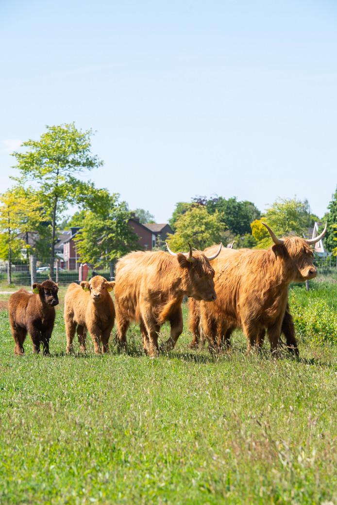 Roosendaal- Pix4Profs/René Schotanus. Zes Hooglanders losgelaten in weide op Landerije in Roosendaal.