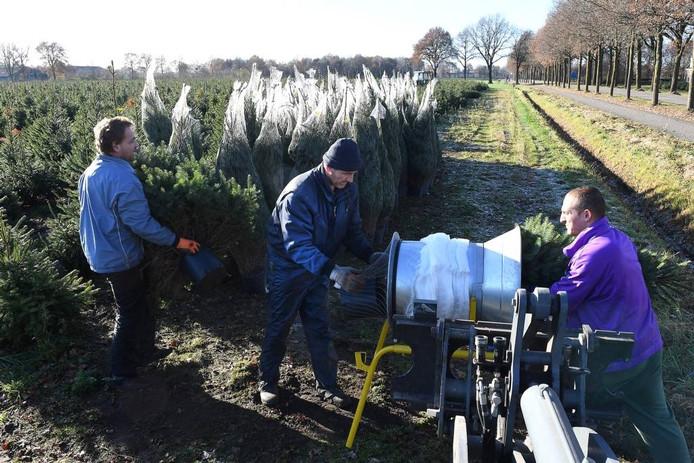 De bomen worden gerooid en verpakt bij Nooijen.