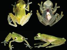 Wetenschappers ontdekken compleet transparante kikker