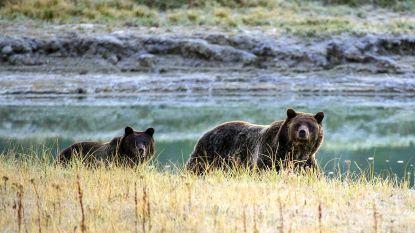 Grizzlybeer in Yellowstone verdrinkt eland in rivier, begraaft prooi op oever en bewaakt ze furieus terwijl toeristen toekijken