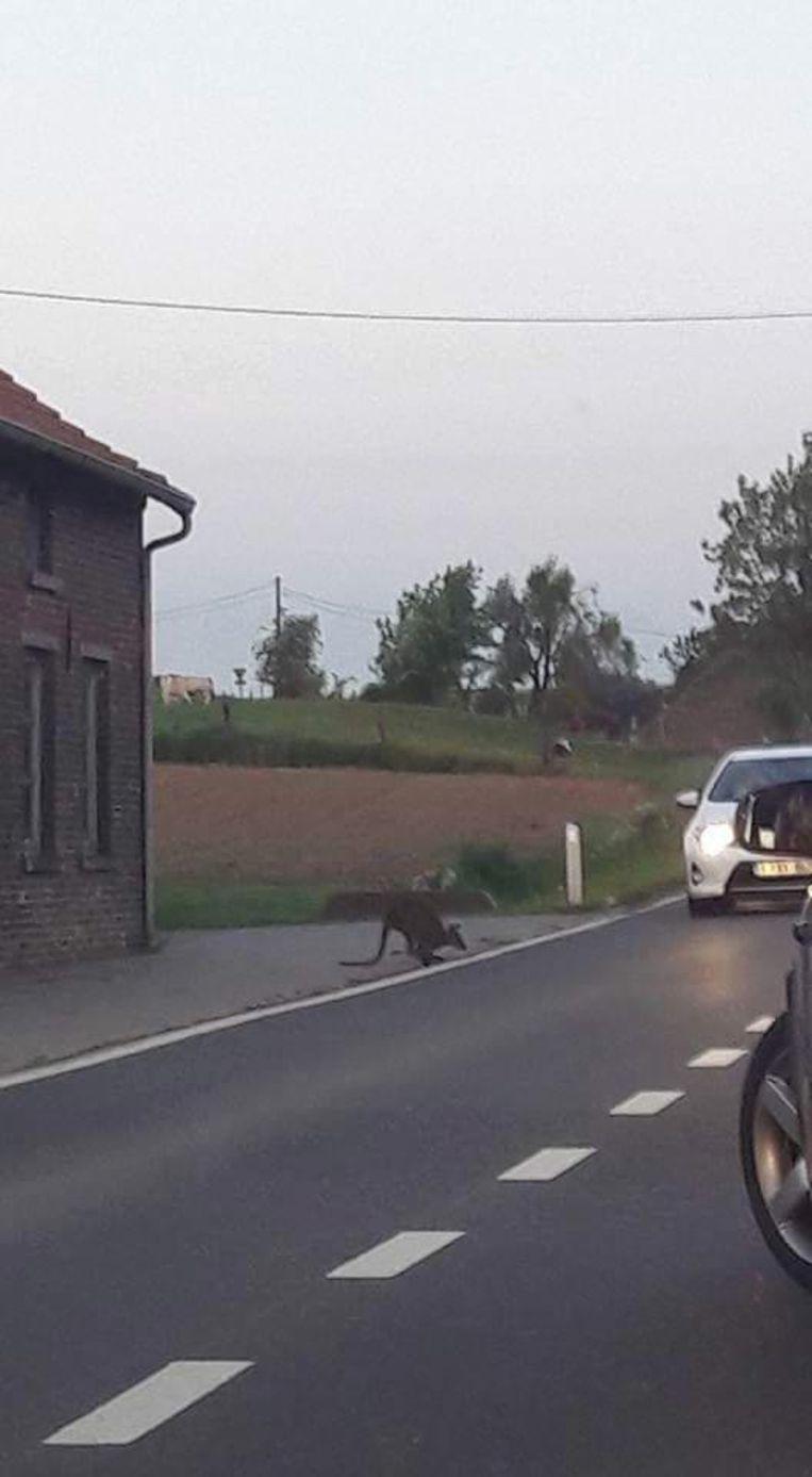 Zowat een jaar geleden mocht de politie van de zone Pajottenland ook op zoek naar deze ontsnapte wallaby in Galmaarden.