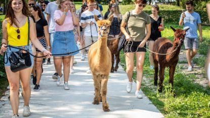 """Tweedezitters op wandel met alpaca's: """"ik denk dat ik nu wel geslaagd ben"""""""