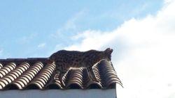 """Politie krijgt oproep voor """"gevaarlijke luipaard"""", maar het blijkt een kat"""