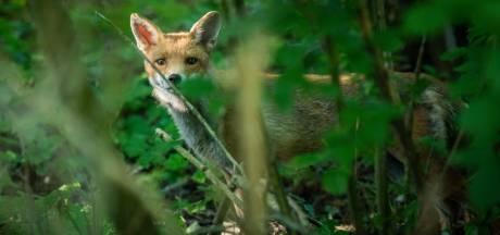Loslopend wild voor wildcamera blijkt… vrijend koppeltje