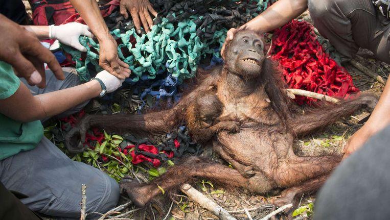 De orang-oetan die werd gered in het Indonesische dorp op Kalimantan, met haar baby. Beeld afp