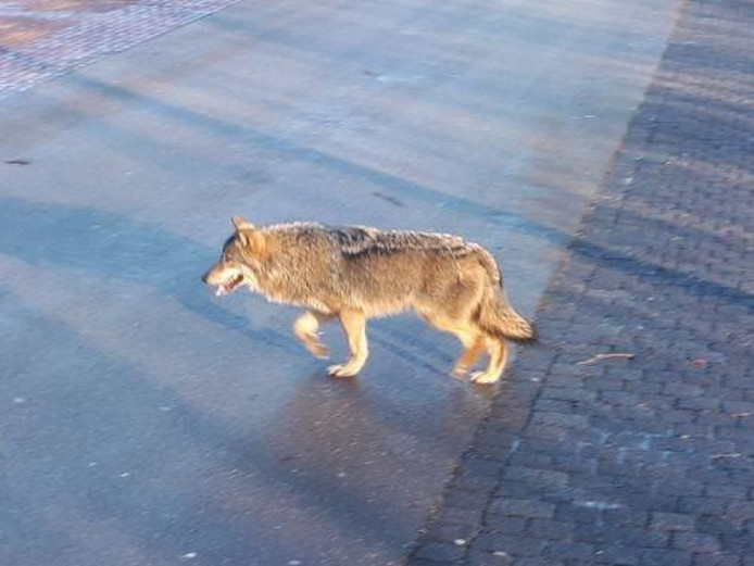 Op 13 februari is er in Twente een wolf gezien. Het dier werd vanuit een voertuig gefotografeerd.