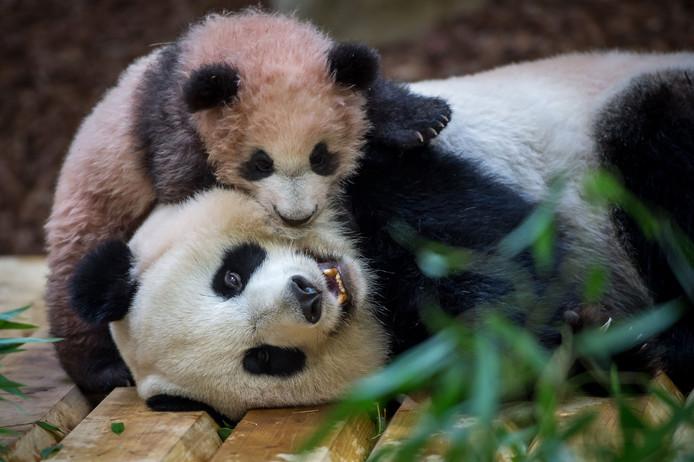 Pandababy Yuan Meng speelt met zijn moeder Huan Huan in hun nieuwe onderkomen in de Franse dierentuin van Beauval. De negenjarige Huan Huan en haar mannetje Yuan Zi kwamen in 2012 voor een logeerpartij van 10 jaar naar de dierentuin. Foto Guillaume Souvant