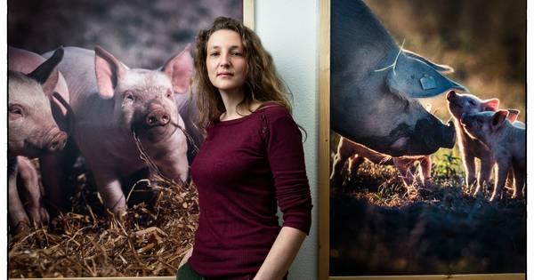 Varkens stikken twee dagen voor slacht: 'Misschien zijn ze